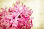 Vintage pink hyacinth — Zdjęcie stockowe