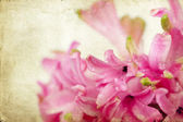 Vintage pink hyacinth — Foto de Stock