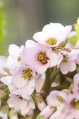 Beautiful pink spring blossom — Stock Photo