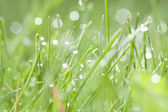Green grass with water dew — Stock Photo