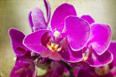Vintage Pink orchid  — Stock Photo