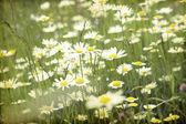 Marguerite field — Stock Photo