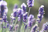 Lavender in the field — 图库照片