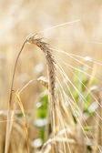 Ripe wheat — Stock Photo