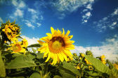 Grunge photo of blooming sunflower field — Stockfoto