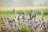 Lavender in the field — Foto Stock