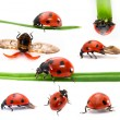 Collection of Seven-spot ladybirds — Stock Photo