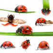 Collection of Seven-spot ladybirds — Stock Photo #24441907