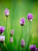 Chive herb flowers — Stock Photo