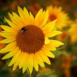 Beautiful sunflowers — Stock Photo