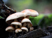 Rhodocollybia maculata setas — Foto de Stock