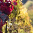Wine grapes on a vine branch — Foto Stock