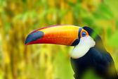 Colorful Toucan Bird — Stock Photo