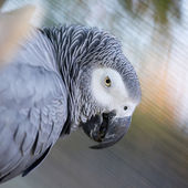 Grey-winged Macaw — Stock Photo