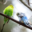 Cute Little Budgie Bird — Stock Photo