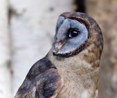 Short-eared Owl — Stock Photo