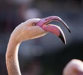 American or Caribbean Flamingo — Stock Photo