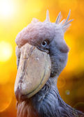Shoebill, Abu Markub — Stock Photo