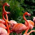 American or Caribbean Flamingo — Stock Photo #34778469