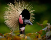 Close-up of a Grey Crowned Crane — Stock Photo
