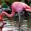 American or Caribbean Flamingo — Stock Photo
