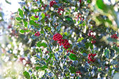 Ilex branch — Stock Photo
