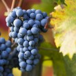 Wine grapes on a vine branch — Stock Photo