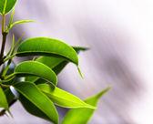 Ficus benjamina — Stock Photo