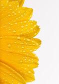 Flor colorida gerber — Fotografia Stock