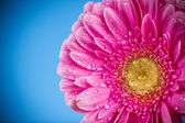 Colored gerber flower — Stock Photo