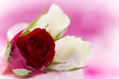天然的红玫瑰背景 — 图库照片