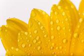 Gerber color flor — Foto de Stock