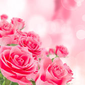 Natural pink roses background — Stock Photo
