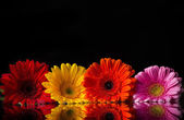Colored gerber flowers — Stock Photo