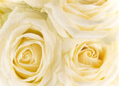 Natural tint yellow roses background — Stock Photo