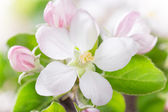 Spring blossoms, close-up — Stock Photo