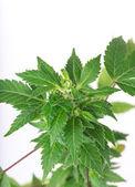 Young cannabis plant, marijuana — Stock Photo