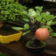 Stock Photo: Bonsai apple tree in garden