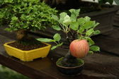 Bonsai apple tree in a garden — Stock Photo