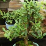 Bonsai miniature tree — Stock Photo