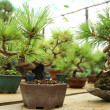 Bonsai trees — Stock Photo