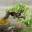 Bonsai tree — Stock Photo #19470093