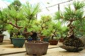 Bonsai trees — Stock Photo