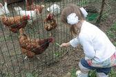 Mała dziewczynka karmienie? hicken w gospodarstwie — Zdjęcie stockowe