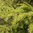 Stock Photo: Green Fir tree