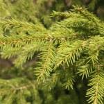 Green Fir tree — Stock Photo