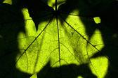 Maple leaf close-up backlighting Macro — Stock Photo