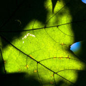 Maple leaf close-up — Stock Photo