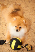 Dog spitz puppy lying on the floor with a toy. — Stock Photo