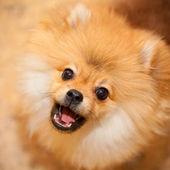 Aggressive dog spitz.Barks and looks at the camera — Stock Photo